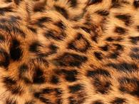 0051-Luipaard (Leo)